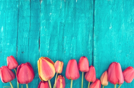 Frame Of Tulips On Turquoise Rustic Wooden Background. Spring Fl